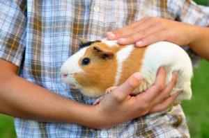 Сколько стоит морская свинка и где ее купить