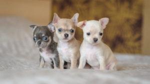 Сколько стоит щенок чихуахуа в рублях