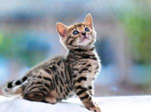Сколько стоит котенок бенгальской кошки thumbnail