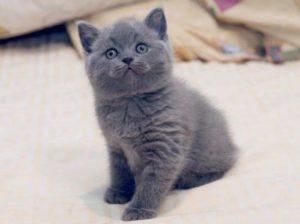 Сколько стоит британский котенок с документами и без