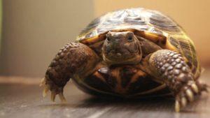 Сколько стоит домашняя сухопутная черепаха