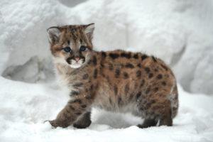 Сколько стоит котенок пумы в России