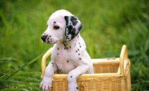 Сколько стоит щенок далматинца в России