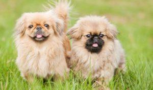 Сколько стоит щенок пекинеса в рублях