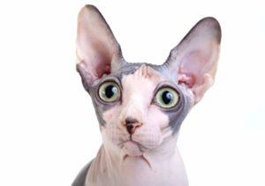 Сколько стоит лысая кошка маленькая thumbnail