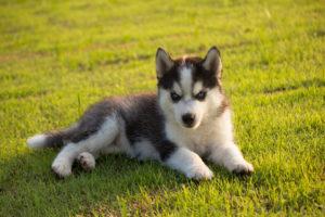 Сколько стоит настоящий щенок хаски