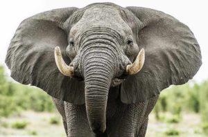 Сколько стоит живой слон в России