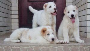 Сколько в среднем стоит щенок алабая в России