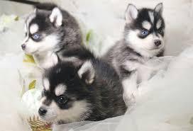 Сколько сегодня стоит щенок лайки в рублях