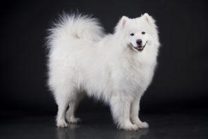 Сколько стоит самоедская собака в России