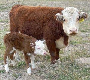 Сколько стоит живой теленок в России
