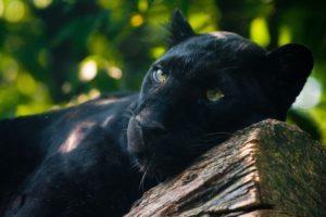 Сколько стоит настоящая живая пантера