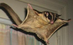 Сколько стоит домашняя белка-летяга