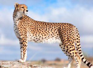 Сколько стоит гепард