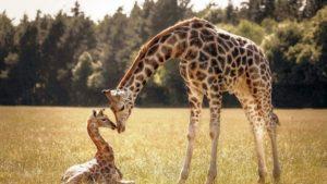 Сколько стоит живой настоящий жираф