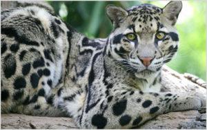 Сколько стоит настоящий живой леопард