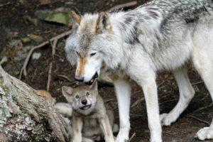 Сколько стоит живой волк в России