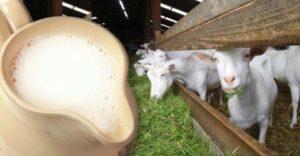Сколько стоит живая коза, дающая молоко