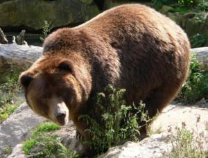 Сколько стоит живой медведь