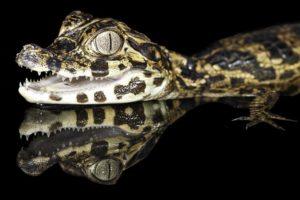 Сколько стоит маленький живой крокодил