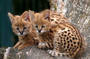 Сколько стоит котенок породы сервал